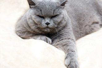 Obésité chez le chat, comment y…