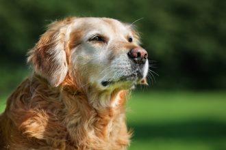 Les maladies de la prostate chez le chien