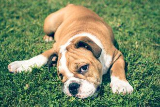 La démodécie chez le chien