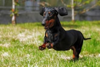 La hernie discale chez le chien