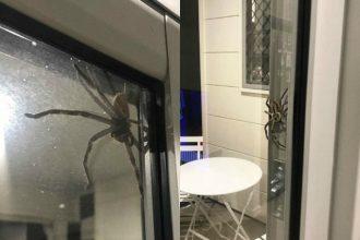 Australie : une araignée géante gâche le barbecue d'un…