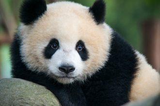 Naissance de deux pandas au zoo de Beauval