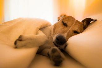 Tout savoir sur la fièvre chez le chien