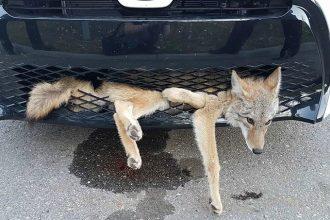 Un coyote indemne encastré dans une voiture après un…