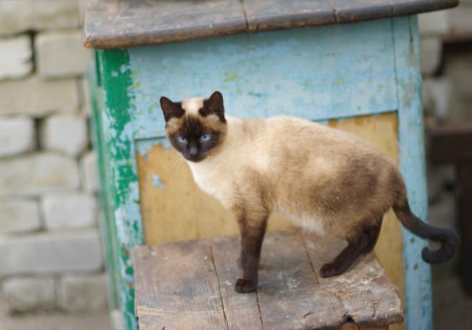 cat in pinocchio