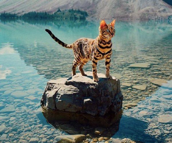 Suki, the Bengal cat explorer