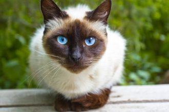 Top 5 most talkative cat breeds