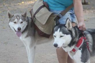 Deux Huskies abandonnés dans un parc…
