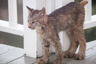 Il se réveille et découvre huit Lynx…