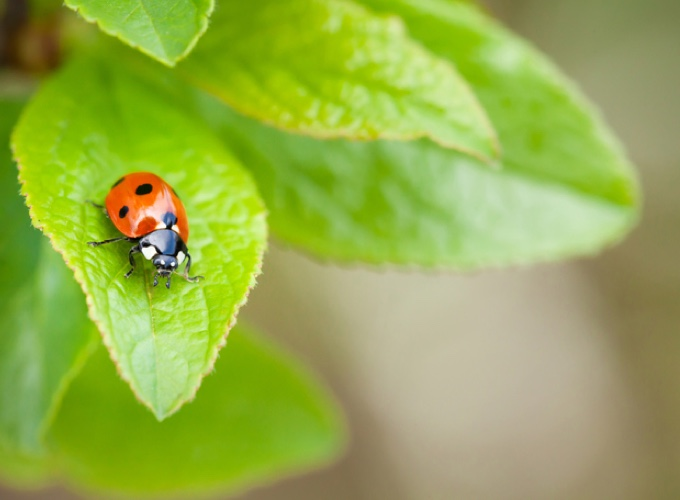 superstitions sur les animaux : la coccinelle
