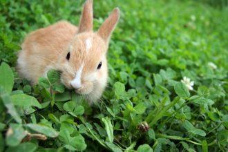 L'alimentation du lapin de compagnie, comment bien le nourrir ?