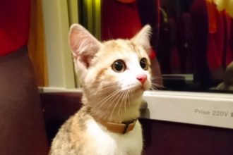 Un chaton perdu, prend le train et…
