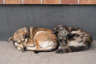 Russie : des milliers de chiens abattus…