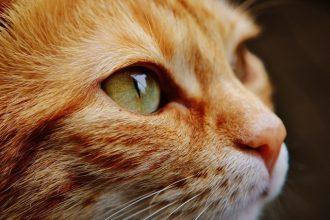 Tout savoir sur la vue du chat