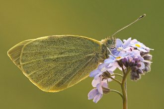 The Coeliadinae family of butterflies…