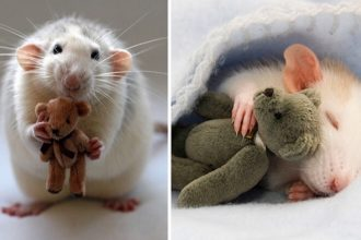 Rats cuddling teddy bears: cuteness…
