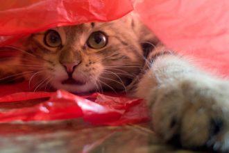 Pourquoi les chats adorent les sacs…