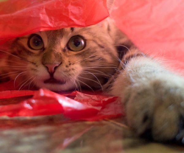 Pourquoi les chats adorent les sacs plastiques ?