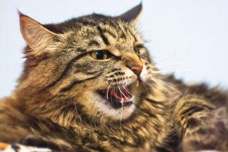 Pourquoi mon chat est agressif envers…