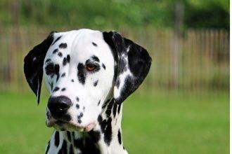 Top 10 des races de chien indépendant