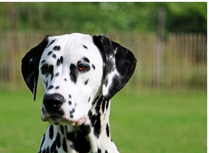 Top 10 des races de chien indépendant - Yummypets