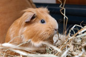 All about the guinea pig