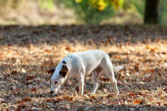 Le danger des mycotoxines pour le chien