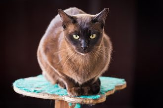 Know your breeds: the Burmese