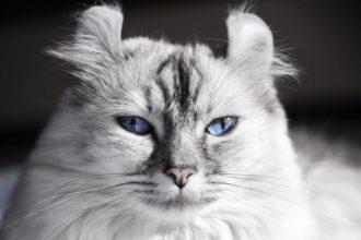 Zoom sobre una raza de gato: El Curl Americano