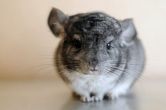 Fur barbering: why my Chinchilla eats…