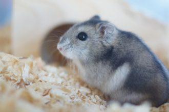 Tout savoir sur le hamster russe