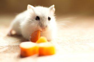 Comment bien nourrir son hamster russe ?