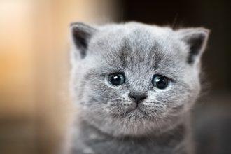 Mon chaton semble triste : pourquoi ?