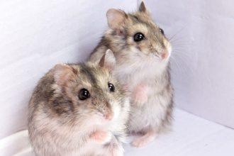 La cohabitation entre deux hamsters russes est-elle possible ?