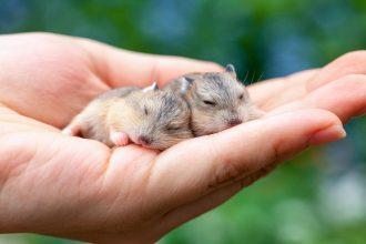 Comment savoir si mon hamster est un mâle ou une femelle ?