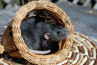 Tout savoir sur le rat domestique