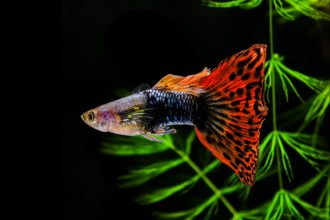 Know your breeds: the Guppy