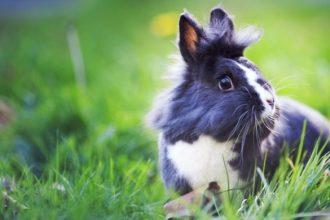 La malocclusion chez le lapin